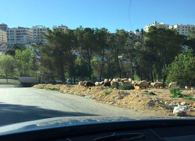 sheep in amman