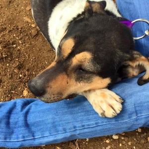 adopt dog amman jordan