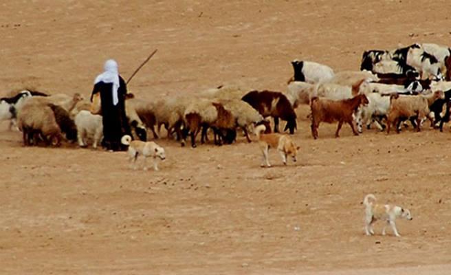 bedouin canaan dogs